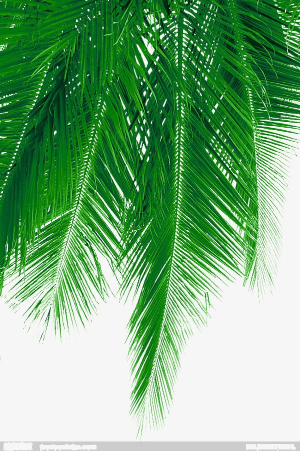 Fresh Coconut Leaves Picture Material Coconut Clipart Coconut Tree Coconut Png Transparent Clipart Image And Psd File For Free Download Plants Palm Trees Palm