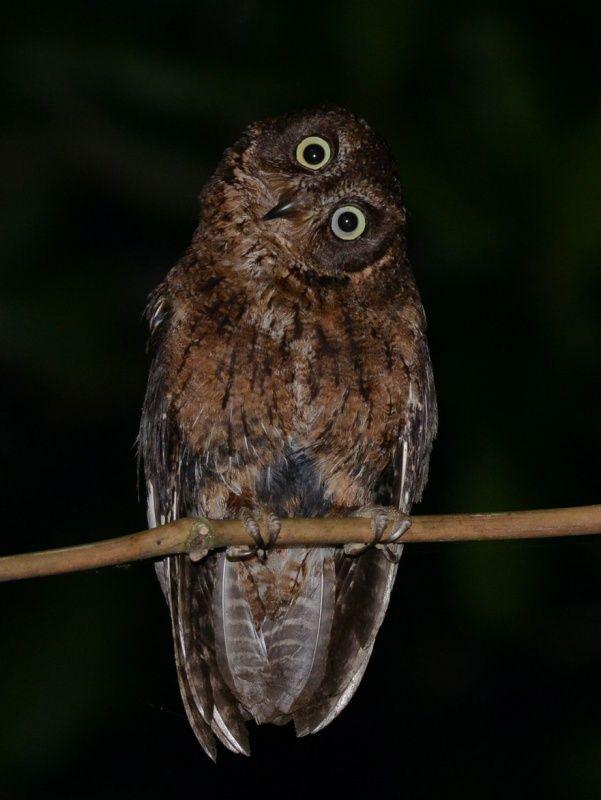 Mayotte Scops Owl (Otus mayottensis). Photo by Alan Van Norman.