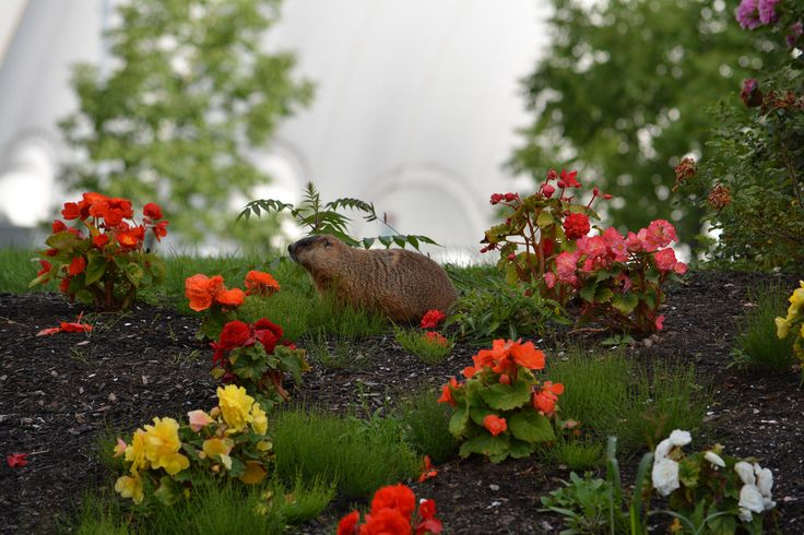 Summer in New Brunswick is worth waiting for when you get see more of Mother Nature like this groundhog. | Flickr - Photo Sharing!