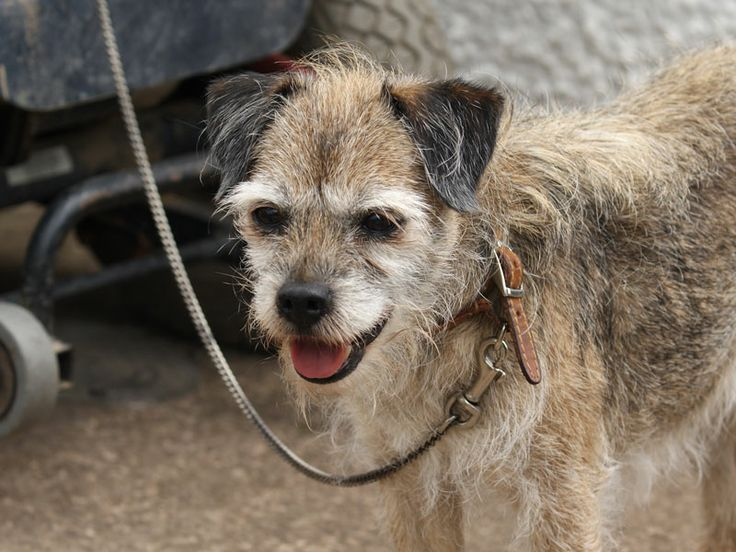 old Border Terrier..