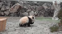 Human Barely Escapes A Panda Attack... Of adorable.