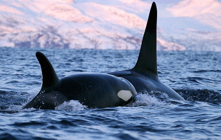 Two Orcas - Norway (Photograph by Chris Johnson)