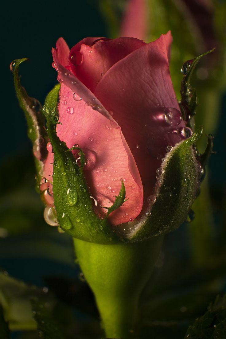 Zrůžekvět (Of the rose blossom) by Vladimír Brabec on 500px