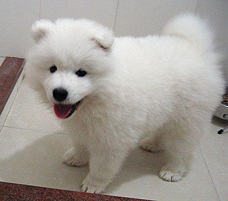samoyed puppy  so fluffy!