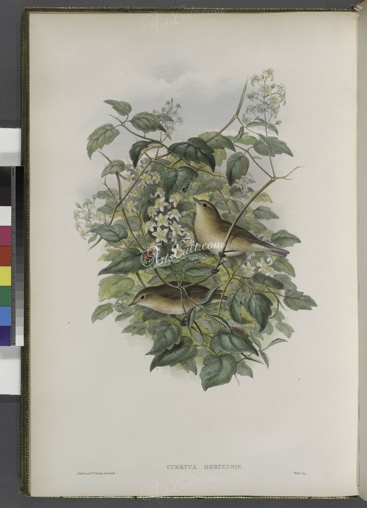 105-Curruca hortensis. Garden Warbler      ...