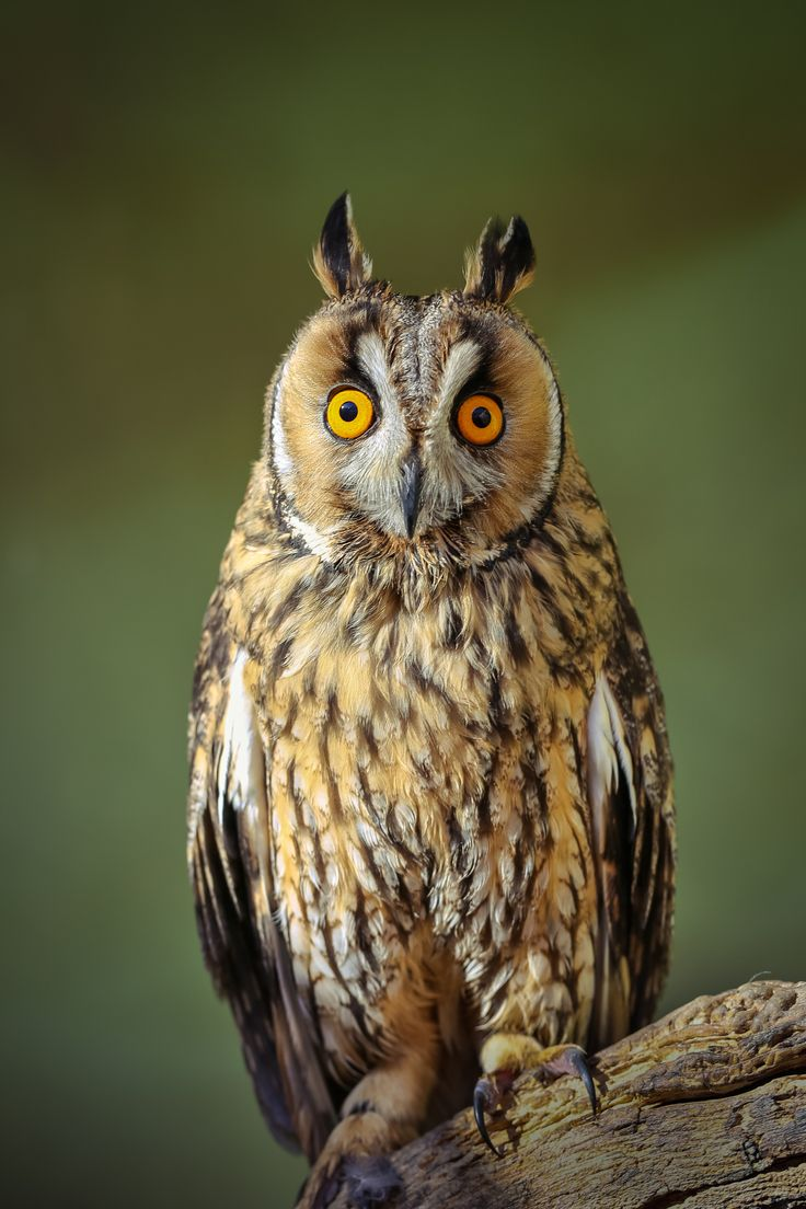 ~~Buho Chico | long-eared owl | by Mario Madrona ...