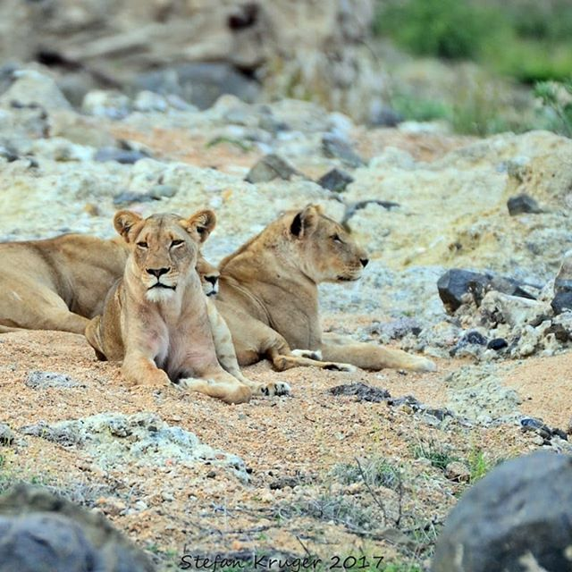 We have also had a lot of lion activity in our traversing. The western pride has been seen as well as a small pride consisting of four lions. There is also a big male we often encounter on game drives either alone or with the western pride. . . . #Lion #Animals #Wildlife #Wild #AfricanSafari #BigCats #Simbavati #Safari #GameDrive #SafariPhotography
