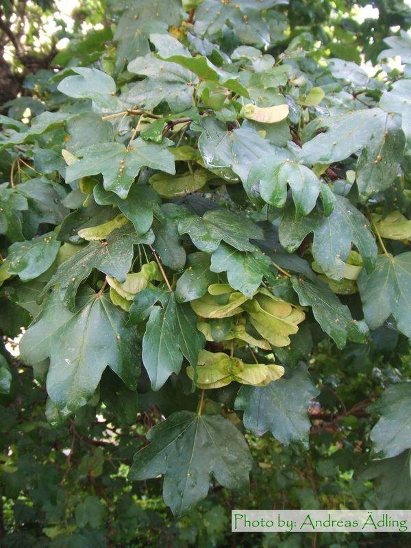 Acer campestre - Naverlönn - Växtmaterial