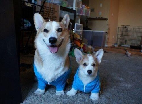 Matching daddy and baby corgi :)