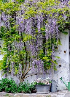 """Wisteria--Uncle John """"borrowed"""" a root from a wisteria vine at PU when I graduated from there...and now I give roots to friends!"""