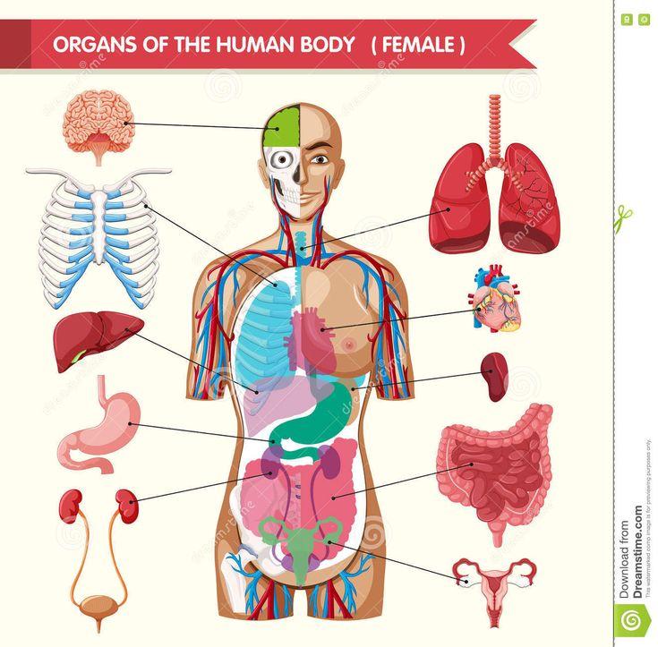 Internal Human Body Diagram