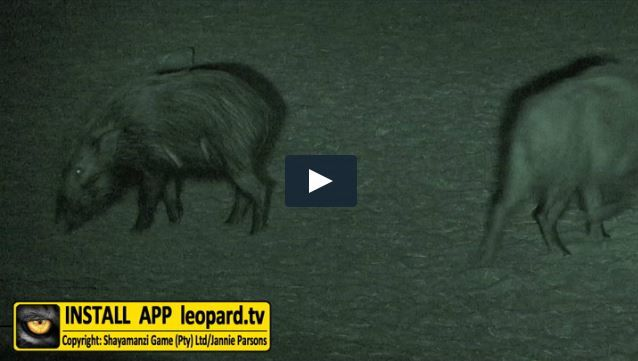 Do you know what a nocturnal animal is? Find out and meet our first nocturnal animal! #leopardtv #africa #night
