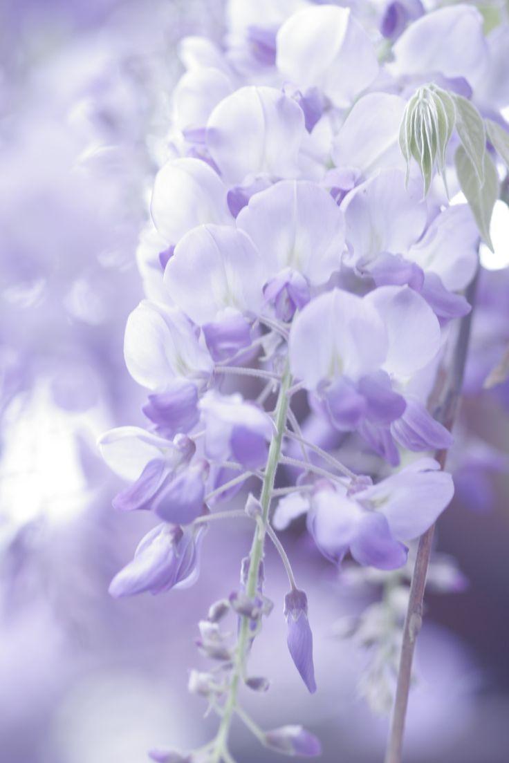 Blauregen für Terrasse, Garten und Pergola: Wissenswertes über Pflege, Schneiden, Sorten