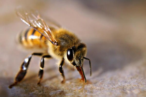 Bee sting cures arthritis and cancer?