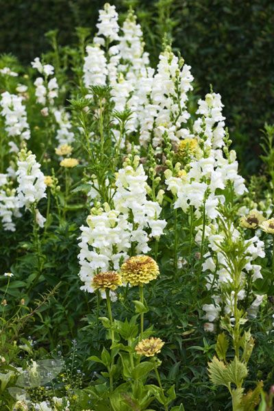 An elegant and easy to grow snapdragon that produces showy spires of fragrant, pure white flowers throughout summer. The flowers are excellent for cutting and look luminous when drifted through a sunny, well-drained border. Traditionally a cottage garden favourite, they will however look superb in most settings.