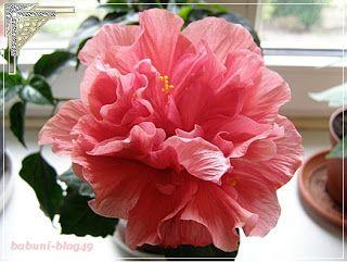 Babcia radzi coś...: Hibiskus - kwiat jednego dnia
