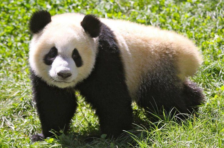 laws on the giant panda Laws on the endangered giant panda a the reason for my claim is concern about these gentle creatures pandas are among the most seriously endangered species alive .