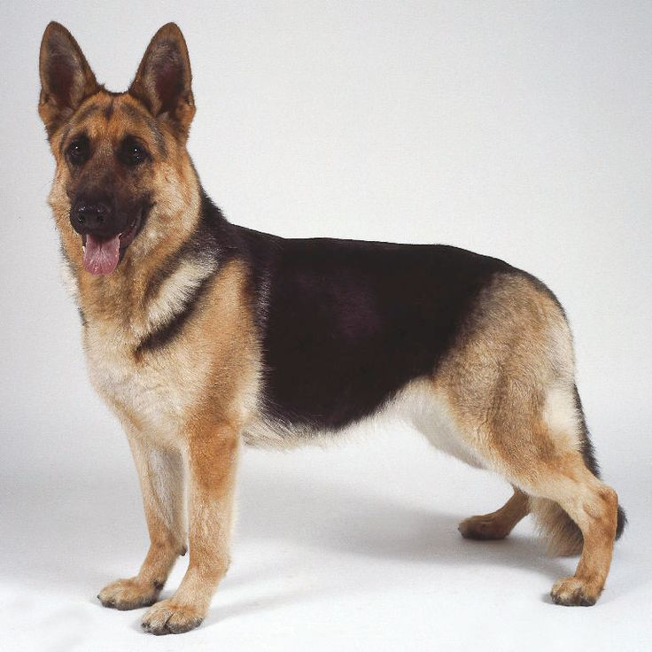 The German Shepherd can be found in a variety of colors. Description from aldo-dog.blogspot.com. I searched for this on bing.com/images