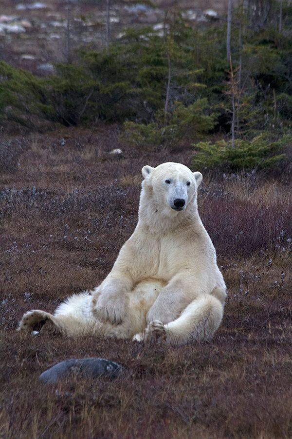 Polar bear sits                                                                                                                                                      Mais