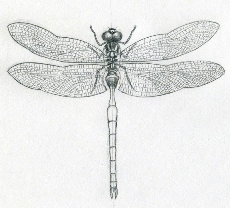 Dragonfly drawings. One of the simplest insect to draw.