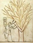 """изображении """"Исида-сикомора, кормящая Тутмоса III""""(Роспись из гробницы Тутмоса III в Долине царей. 15 в. до н.э.) лика богини не видно, проявлена только её рука, которая даёт свою грудь фараону. Богиня здесь выступает подательницей молока новой жизни царю. Это первое в истории египетского искусства изображение богини священной сикоморы."""