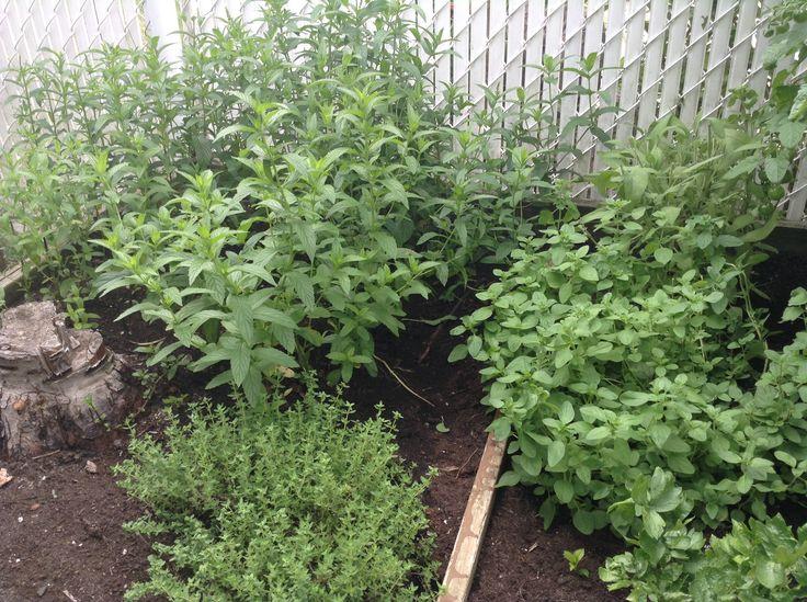 Herb garden thyme sage oregano and mint