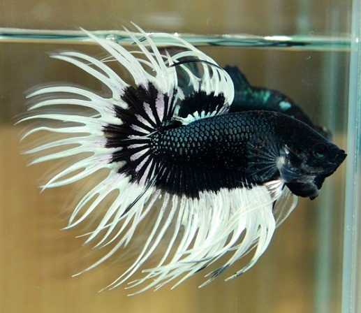 47 best images about fishes fancy bettas on pinterest for Butterfly betta fish