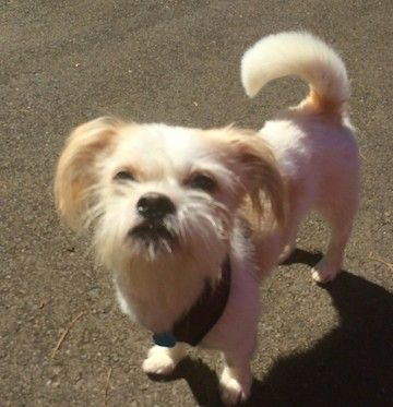 """Check out """"Louie""""'s profile on AllPaws.com and help him get adopted! """"Louie"""" is an adorable Dog that needs a new home. https://www.allpaws.com/adopt-a-dog/brussels-griffon-mix-shih-tzu/5734582?social_ref=pinterest"""