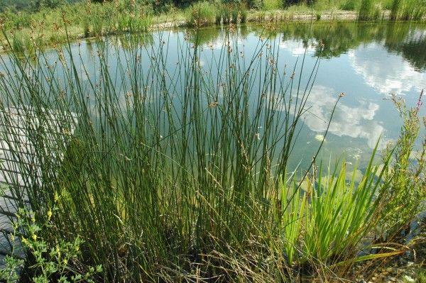 Skřípinec jezerní - rostliny pro kořenovou čističku