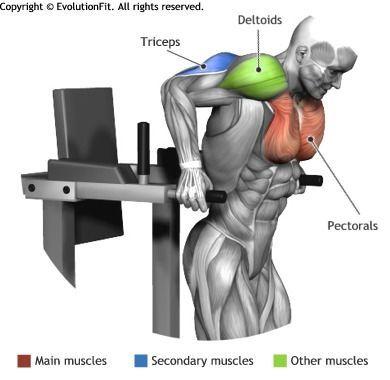 Pectoraux muscles utilis s pour l 39 entra nement repulsion a la chaise romaine exercices de - La chaise exercice musculation ...