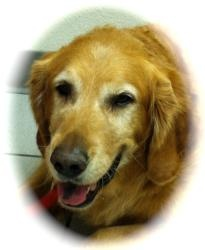 This is Duke - 8 yrs. He is an owner surrender due to a move. He gets along with kids & cats but can be snarly with other male dogs. He is neutered, potty trained and up to date with vaccinations. Duke loves to go hiking & will play with tennis balls non-stop. He is looking for a forever home and is at Golden Retriever Rescue So. Nevada
