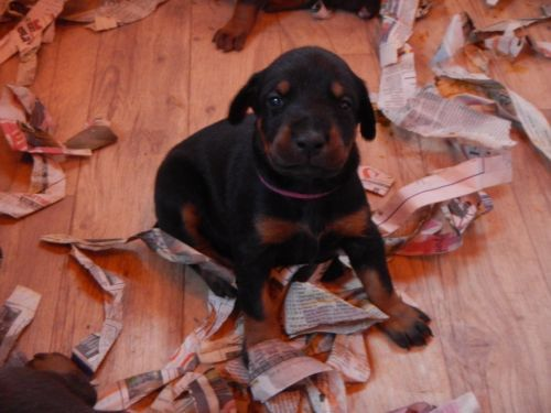 doberman Dogs & puppies For Sale in Charlottesville| eBay ...