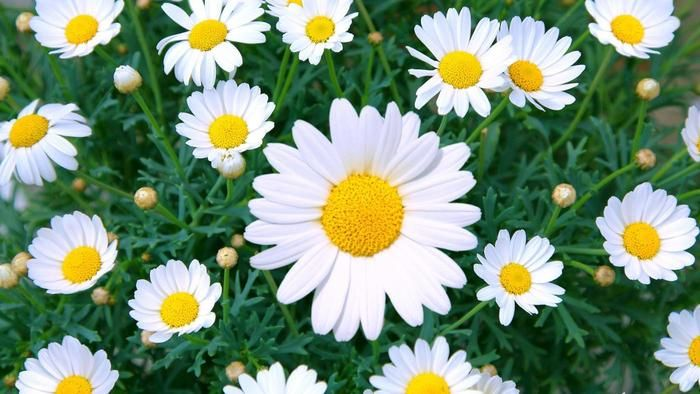 What is the meaning behind daisy flowers? | Reference.com