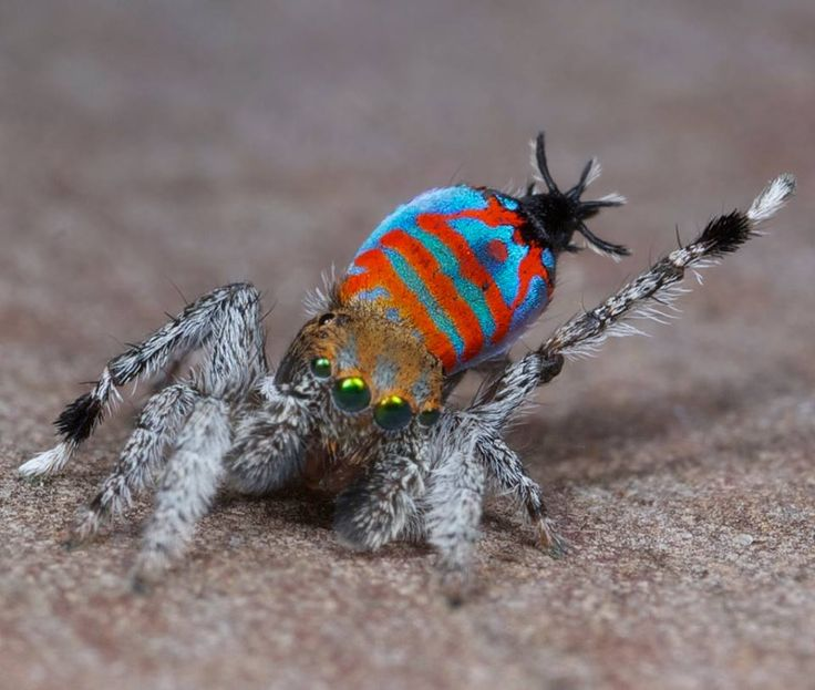 """Well, helllooo! Meet one of the only arachnids that we'd actually call """"cute,"""" a newly-identified species of peacock spider dubbed """"Sparklemuffin."""" Another new discovery, """"Skeletorus"""" (which is also pretty cute, with added mod-meets-goth flair), is pictured below."""