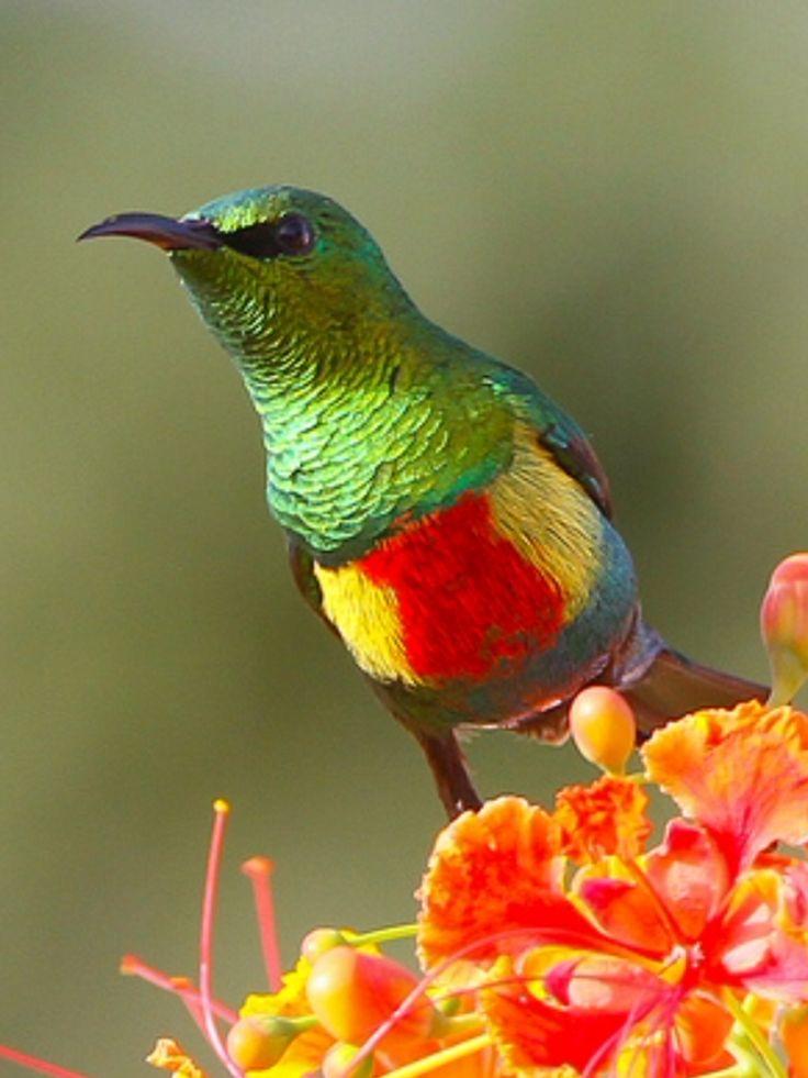 Beautiful Sunbird, Cinnyris pulchellus: across sub-Saharan tropical AF | hotspotbirding.com