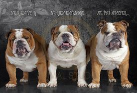 """""""Les trois bouledogues"""". Reprenant l'adage bien connu, ces trois chiens photographiés en même temps portent la légende """"Ne rien voir, ne rien entendre, ne pas aboyer"""".  Trois bouledogues de face sur fond gris."""