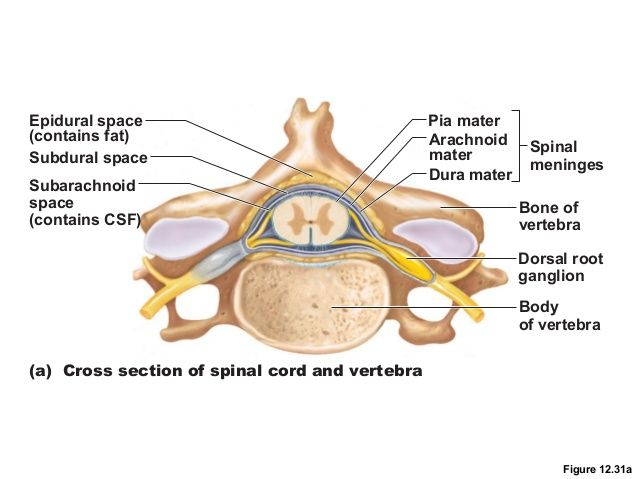 Spinal Cord – Segments and Organization