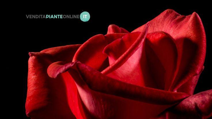 Moltissime varietà di rose..