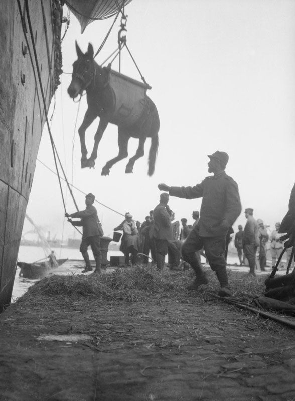 Italians landing mules at Salonika in October, 1916.