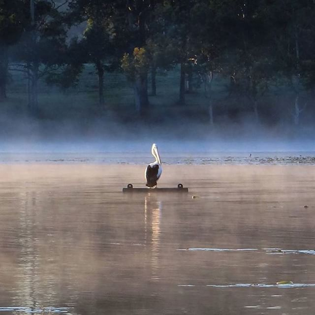 This pelican has found the perfect spot to bask in the early morning light - Lake MacDonald, Cooroy! Lake MacDonald is a beautiful place to explore the Noosa Botanic Gardens with its magnificent amphitheatre on the shores of the lake.