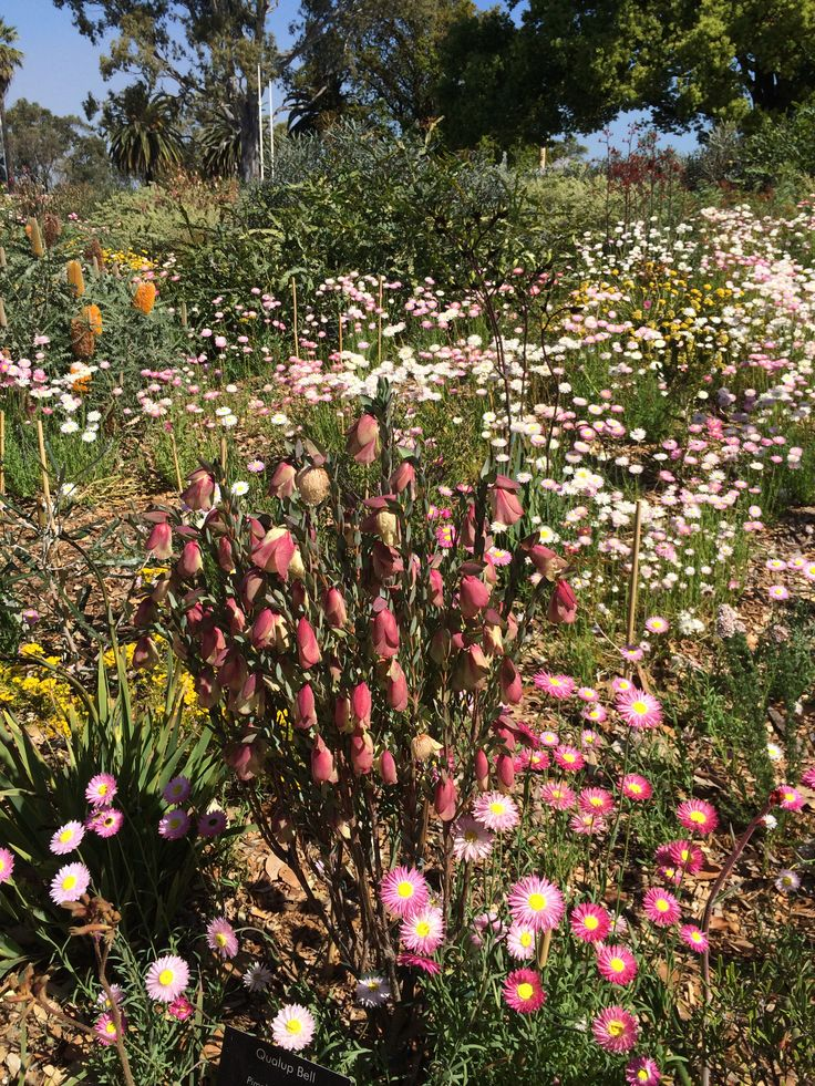 Beautiful West Australian wildflowers. Qualup Bells centre foreground.
