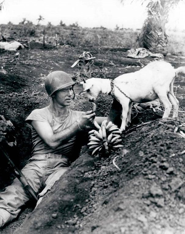 Soldier shares bananas with a goat during battle of Saipan, circa 1944, WWII