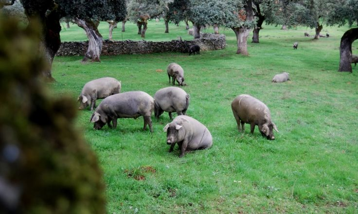 Walking around Dehesa. The origins of Jamón Ibérico's deliciousness is right here: in the green fields in which the pigs are free to graze