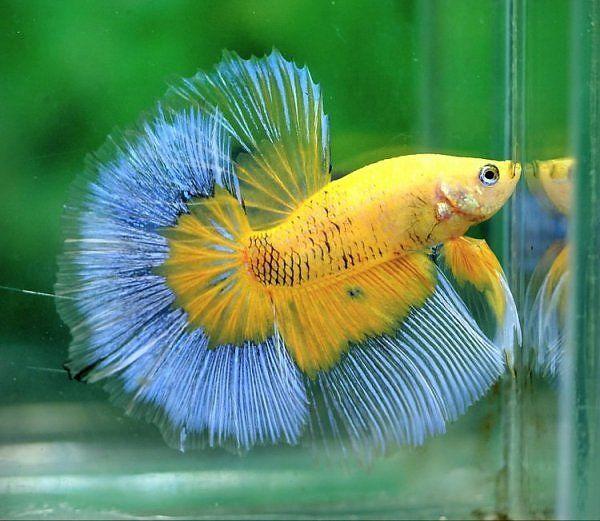 Blue and yellow betta fish - photo#12