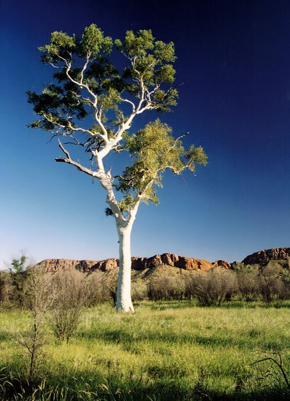 Blue And White Eucalyptus Mac Donnell Range Northern Territory