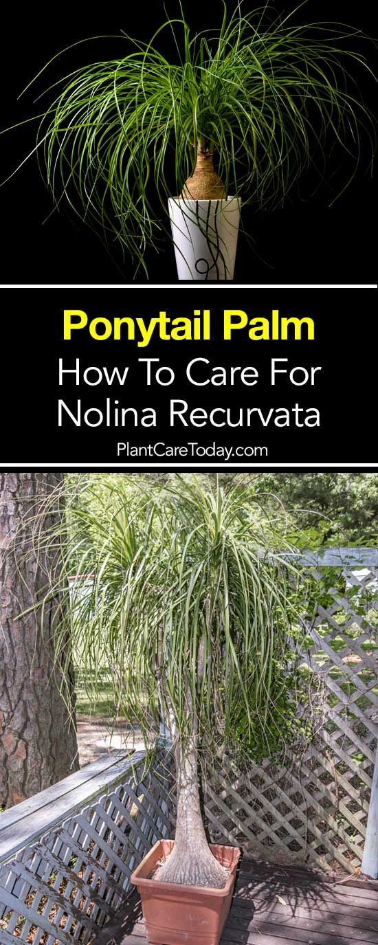 Ponytail palm plant the Beaucarnea Recurvata a popular houseplant, easy to grow, loves bright light, pest free and doesn't want lots of water. [LEARN MORE]