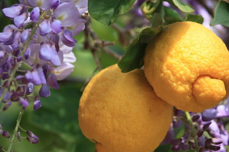 profumo di limone e glicine....