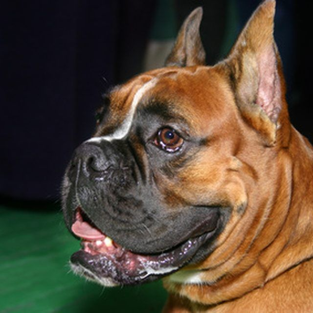 There are a handful of key differences between male and female boxer puppies.