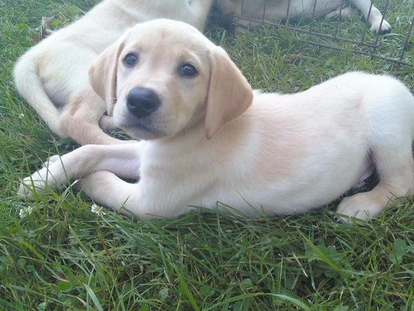 8-week old Lab puppy