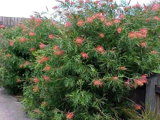 Grevillea robyn Gordon.  H1 W1.5-2. Most of the year flowers.
